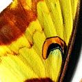 closeup of Actias maenas, Lunar Moth