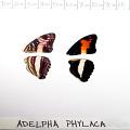 full view of Phylaca Sister specimen