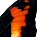 closeup, the back of a forewing of Adelpha phylaca butterfly
