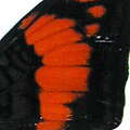 closeup, the back of a forewing of Adelpha ximena butterfly