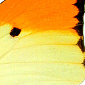 closeup, the back of a forewing of an Anteos menippe butterfly