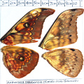 full forewing and hindwing view of Antheraea celebensis Watson specimen
