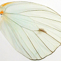 closeup, the front of a hindwing of an Ascia buniae butterfly