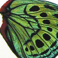 closeup, the front of a hindwing of an Callithea Philotima butterfly