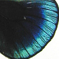 closeup, the back of a hindwing of a Callithea Philotima butterfly