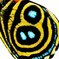 closeup, the front of a hindwing of an Callicore aegina butterfly