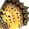 closeup, the front of a forewing of an Cethosia cyane butterfly