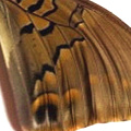 closeup, the back of a hindwing of a Charaxes tiridates butterfly