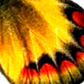 closeup, the front of a hindwing of an Delias sambawana butterfly