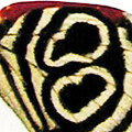 closeup, the front of a hindwing of an Diaethria neglecta butterfly