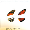 full forewing and hindwing view of Dione juno specimen