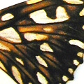 closeup, the front of a hindwing of an Dione juno butterfly