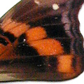 closeup, the front of a forewing of an Doxocopa elis butterfly