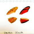 full forewing and hindwing view of Dryas julia specimen