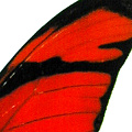 closeup, the back of a forewing of an Dryas julia butterfly