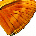 closeup, the front of a hindwing of an Dryas julia butterfly