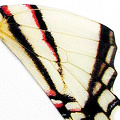 closeup, the front of a hindwing of an Eurytides agesilaus butterfly