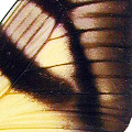 closeup, the front of a forewing of an Eurytides columbus butterfly