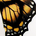 closeup, the front of a hindwing of an Eurytides dolicaon butterfly