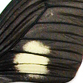 closeup, the front of a forewing of an Eurytides harmodius butterfly. Also known as Mimoides xeniades.