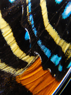 Closeup of medium Speckled Numberwing (Callicore aegina) Shimmerwing Pendant