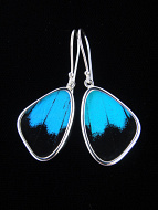 Small Blue and Black (Papilio ulysses) Shimmerwing earrings with butterfly set in sterling silver