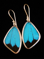 Medium Blue and Black (Papilio ulysses) Shimmerwing earrings with butterfly set in sterling silver