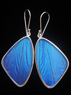 Large Blue Morpho (morpho didius) Shimmerwing earrings with butterfly set in sterling silver