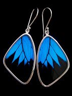 Large Blue and Black (Papilio ulysses) Shimmerwing earrings with butterfly set in sterling silver