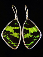 Large Green & Black Wing (Urania leilus) Shimmerwing earrings with butterfly set in sterling silver