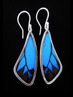 Blue & Black (Papilio ulysses) Long Wing Shimmerwing Earrings set in sterling silver
