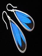 Blue & Black (Papilio ulysses) Long Drop Shimmerwing Earrings set in sterling silver