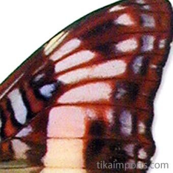 closeup, the front of a forewing of Phylaca Sister butterfly