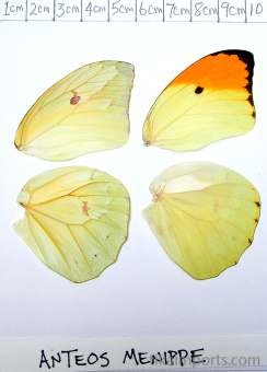 full forewing and hindwing view of Anteos menippe specimen