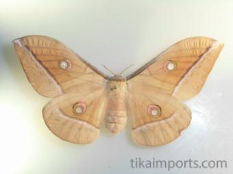 intact Antheraea celebensis Watson specimen
