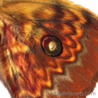 closeup, the front of a forewing of an Antheraea celebensis Watson butterfly