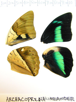full forewing and hindwing view of Archacoprena meander specimen