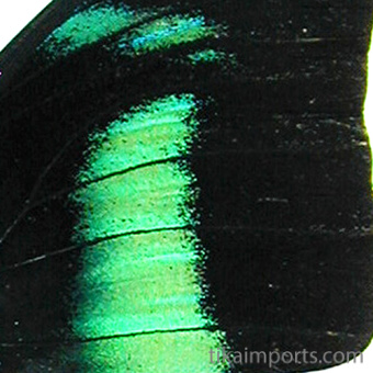 closeup, the back of a forewing of an Archacoprena meander butterfly
