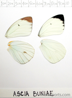full forewing and hindwing view of Ascia buniae specimen