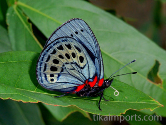 photograph of a live Callithea Philotima butterfly
