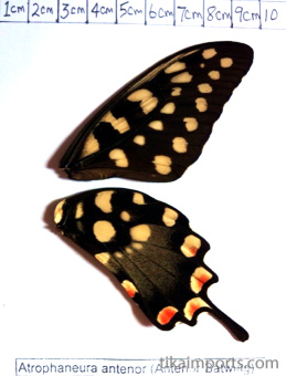 full forewing and hindwing view of Atrophaneura antenor specimen