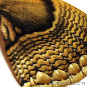 closeup, the front of a hindwing of a Brahmea hearseyi moth