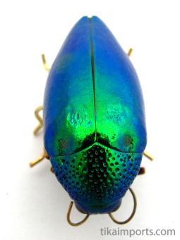 showing top view of beetle pin made from real Sternocera Aequisignata beetle