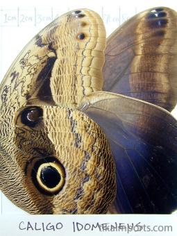 full forewing and hindwing view of Caligo idomeneus specimen