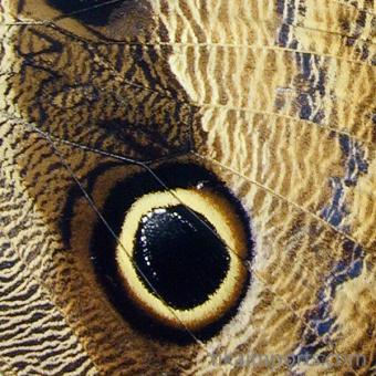 closeup, the front of a hindwing of an Caligo idomeneus butterfly