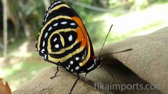 photograph of a live Callicore aegina butterfly