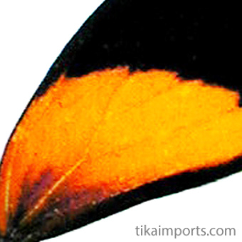 closeup, the front of a forewing of an Callicore aegina butterfly