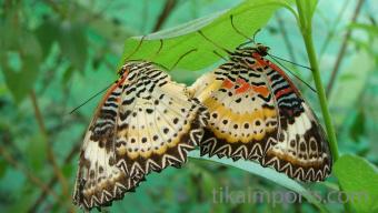 Cethosia cyane butterfles in Penang Butterfly Farm