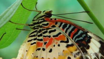 Cethosia cyane butterfly in Penang Butterfly Farm