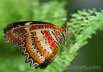 photograph of a live Cethosia cyane butterfly